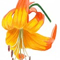 Orange Lily No 3 by Christina Beck
