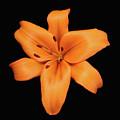 Orange Lily On Black by Krisjan Krafchak