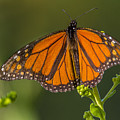 Orange Monarch by Sue Matsunaga