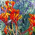 Yellow-orange Kangaroo Paws At Pilgrim Place In Claremont-california- by Ruth Hager