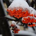 Orange Mountain Ash Berries by Betty-Anne McDonald