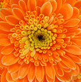 Orange Mum In Detail by Lucyna A M Green