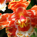 Orange Orchid by Laurel Talabere