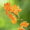 Orange Orchid Melody by Sabrina L Ryan