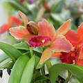 Orange Orchids 2 by Nancy Aurand-Humpf