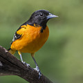Orange Oriole by Sue Matsunaga