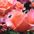 Orange-pink Roses  by Rona Black