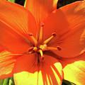 Orange Pop by Cris Fulton