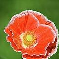 Orange Poppy 2 by Bonfire Photography