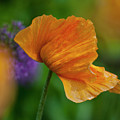Orange Poppy Flower by Heiko Koehrer-Wagner