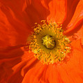 Orange Poppy Flower by Julia Hiebaum