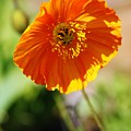 Orange Poppy by Lori Mahaffey