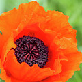 Orange Poppy by Lorraine Baum