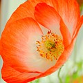 Orange Poppy Offering Nectar by Mary Deal
