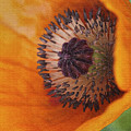 Orange Poppy With Texture by Deborah Benoit