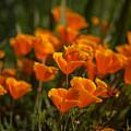 Orange Poppy by Yuri Levchenko