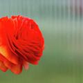 Orange Ranunculus by Julie Craig