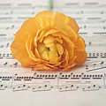 Orange Ranunculus On A Music Sheet by Kim Hojnacki