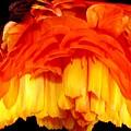 Orange Ranunculus Polar Coordinate by Rose Santuci-Sofranko