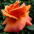 Orange Rose 1 by J M Farris Photography