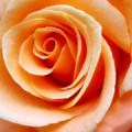 Orange Rose by Addie Hocynec
