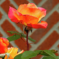 Orange Rose And Bricks by Cate Franklyn