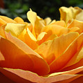 Orange Rose Art Prints Baslee Troutman by Baslee Troutman