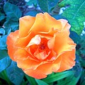 Orange Rose On Green  by Caroline  Urbania Naeem