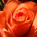 Orange Rose Photograph by Kristen Fox