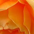 Orange Rose Side View by Miss McLean