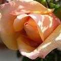 Orange Rosebud by Addie Hocynec