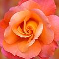 Orange Rosebud Highlight by Gill Billington