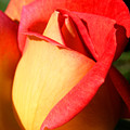 Orange Rosebud by Ralph A  Ledergerber-Photography