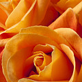 Orange Roses by Garry Gay