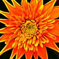 Orange Star Flower by Bill Morgenstern