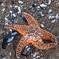 Orange Starfish by Art Block Collections