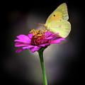 Orange Sulphur Butterfly Portrait by Karen Adams
