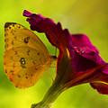 Orange Sulphur On Flower by Bill Barber