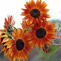 Orange Sunflower 1 by Amy Fose