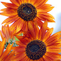 Orange Sunflower 2 by Amy Fose