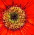 Orange Sunflower by Bruce Bley