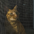 Orange Tabby Cat Looking by Todd Gipstein
