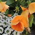 Orange Teardrop With White Lace by Cindy Freeman
