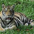 Orange Tiger by Pamela Walton