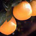Orange Trio by Norman Andrus