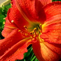 Orange Trumpeting Lily by Erin Rednour
