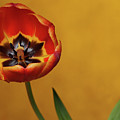 Orange Tulip 2 by Dorothy Lee
