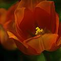 Orange Tulip Art by Deborah Benoit