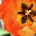 Orange Tulip Bloom by Andrea Kappler