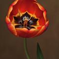 Orange Tulip  by Dorothy Lee